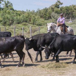 Bull manade